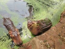 Hippo portrait in the nature Stock Image