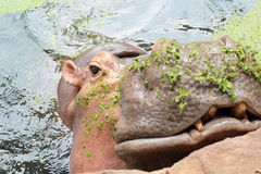 Hippo portrait in the nature Royalty Free Stock Photo