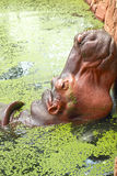 Hippo portrait in the nature Royalty Free Stock Image