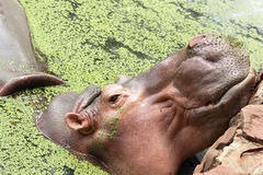 Hippo portrait in the nature Stock Images