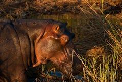 Hippo portrait Royalty Free Stock Photos