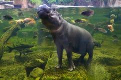 Hippo, pygmy hippopotamus under water Stock Photos