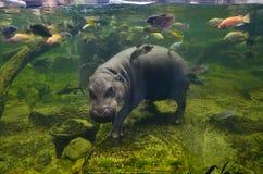 Hippo, pygmy hippopotamus under water Stock Image