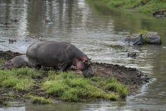 Hippo refreshment in Mara river. Hippo seeks refreshment in river Royalty Free Stock Photos