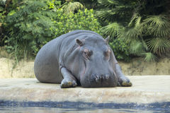 Hippo relax in Zoo Berlin. Hippopotamus lying and resting on greenery backgound. Stock Photography