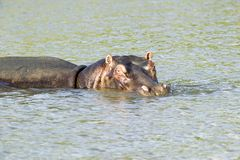 Hippo relaxing in water in the Greater St. Lucia Wetland Park World Heritage Site, St. Lucia, South Africa Stock Image