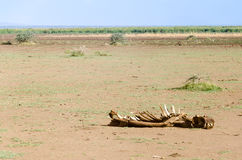 Hippo Remains, Lake Manyara National Park Stock Image