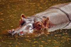 Hippo resting Royalty Free Stock Photography