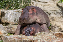 Hippo resting on another hippo Stock Photo