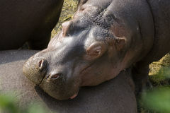 A Hippo resting on his friend. A Hippopotamus relaxing on his friend. Hippos are social animals and live in groups of up to 20 stock photos