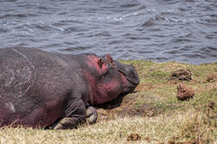 Hippo resting near to the river Royalty Free Stock Photos