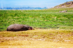 Hippo resting at savanna in National Park of Kenya Stock Photography