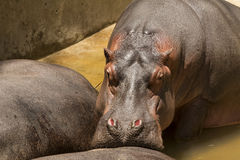 Hippo resting snout on another Hippo's backside Stock Photos
