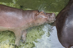 Hippo resting in water at zoo. Stock Photos