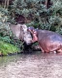 Hippo and rhino confrontation Royalty Free Stock Image
