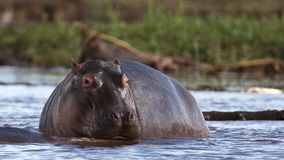 Hippo rises from the water Royalty Free Stock Photo