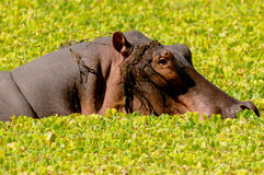 Hippo rising from lagoon Royalty Free Stock Image
