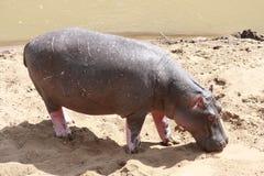 Hippo Royalty Free Stock Photo