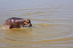Hippo in the River Royalty Free Stock Photo