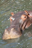 Hippo in river Royalty Free Stock Photos
