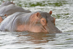 Hippo in the River Royalty Free Stock Photography