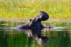 Hippo, Botswana Stock Afbeeldingen
