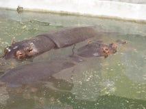 Hippo, Rivierpaard, het Wild, Water, Nijlpaard, Grote, Dierlijke Dierentuin stock afbeeldingen