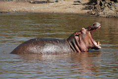 Hippo Roaring Royalty Free Stock Images