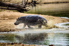 Hippo running at great speed Stock Photos