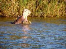 Hippo ` s bij Meer St Lucia Royalty-vrije Stock Foto's