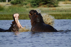 Hippo's fighting, rising from the deep ! Royalty Free Stock Photo