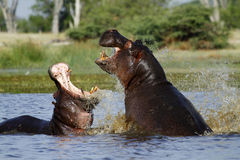 Hippo's fighting, rising from the deep ! Royalty Free Stock Image