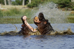 Hippo's fighting Royalty Free Stock Photography