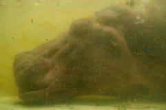 Hippo` s hoofd onderwater stock afbeelding