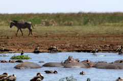 Hippo`s pool in African national park Stock Photography