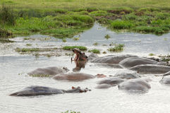 Hippo`s pool in African national park Stock Photos