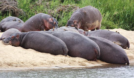 Hippo's. Sleeping on a sandy bank, with red billed oxpeckers on them royalty free stock images