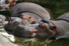 Hippo's sleeping in the water Royalty Free Stock Image