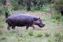 A hippo in the savannah of Kenya. One hippo in the savannah of Kenya stock photography