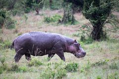 A hippo in the savannah of Kenya. One hippo in the savannah of Kenya stock image