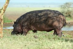 Hippo in the savannah, Serengeti National Park, Tanzania Royalty Free Stock Photo