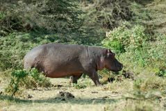 Hippo in the savannah, Serengeti National Park, Tanzania Royalty Free Stock Image