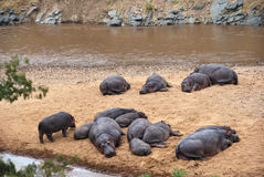 Hippo school at Mara river, Masai Mara, Kenya Stock Photo