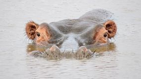 Hippo semi submerged in Africa Stock Photos