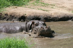 Hippo in serengeti. An angry hippopotamus in serengeti, Tanzania Stock Photography