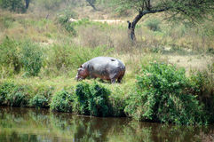 Hippo in the Serengeti Stock Photo