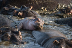 Hippo at the Serengeti National Park Stock Photo
