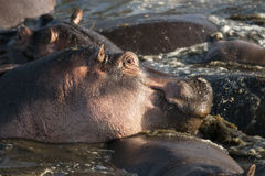 Hippo at the Serengeti National Park Royalty Free Stock Images