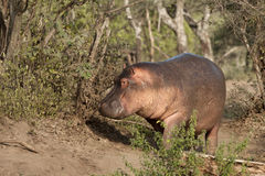 Hippo at the Serengeti National Park, Tanzania Stock Image