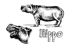 Hippo set sketch. Hippopotamus set hand drawn doodle sketch, vector illustration.The animal stands on the ground and separately the head element and the vector illustration